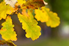 Autumn leaves, very shallow focus. The background of yellow oak leaves on a green close-up stock image