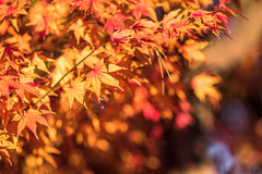 Autumn leaves, very shallow focus Stock Photos