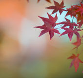 Autumn leaves, very shallow focus. Autumn maple leaves, very shallow focus royalty free stock images