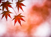 Autumn leaves, very shallow focus Royalty Free Stock Photo