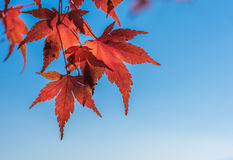 Autumn leaves, very shallow focus Royalty Free Stock Images