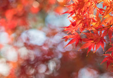 Autumn leaves, very shallow focus. Autumn maple leaves, very shallow focus Stock Photos
