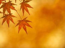 Autumn leaves, very shallow focus. Autumn maple leaves, very shallow focus stock photo
