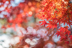Autumn leaves, very shallow focus. Autumn maple leaves, very shallow focus royalty free stock image