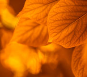 Autumn leaves, very shallow focus Royalty Free Stock Photos