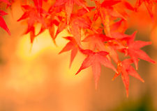 Autumn leaves, very shallow focus. Red autumn leaves, very shallow focus royalty free stock image