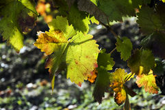 Autumn leaves on vine. A closeup view of green leaves on a vine, showing signs of autumn colors around the edges Royalty Free Stock Photos