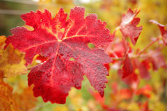 Autumn leaves in vineyard Royalty Free Stock Photo