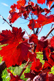 Autumn leaves in vineyard Stock Photo