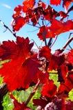 Autumn leaves in vineyard Stock Photo