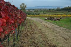 Autumn leaves in the vineyards in province of Pisa stock photography