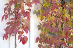 Autumn Leaves - Virginia Creeper Fotografie Stock Libere da Diritti