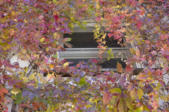 Autumn Leaves - Virginia Creeper Royalty Free Stock Photography