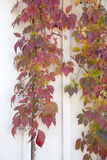 Autumn Leaves - Virginia Creeper Royalty Free Stock Images