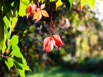 Autumn leaves of Virginia creeper plant Royalty Free Stock Photos