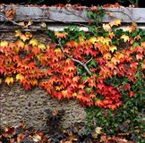 Autumn leaves on wall Royalty Free Stock Image