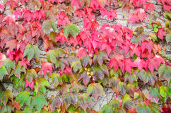 Autumn leaves wall full of red , green, orange colours Stock Image