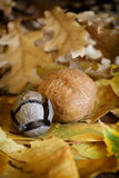 Autumn leaves and walnut. Royalty Free Stock Images