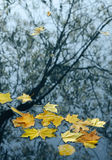 Autumn leaves in water Stock Photography