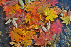 Autumn leaves on water 9 Stock Image