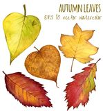 Autumn leaves a water color on a white background Stock Images