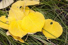 Autumn leaves with water dropples Royalty Free Stock Photos