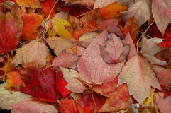 Autumn leaves with water drops Royalty Free Stock Photography
