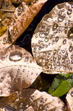 Autumn leaves with water drops Royalty Free Stock Photo