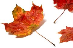 Autumn leaves with water drops isolated on white background Royalty Free Stock Images