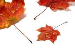 Autumn leaves with water drops on white Royalty Free Stock Photography