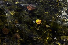 Autumn leaves in water. Autumn leaves float in a lake near the shore, bubbles and ripples on the surface Royalty Free Stock Photography