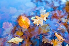 Autumn leaves in a pond. Autumn leaves in water in a pond Royalty Free Stock Photo