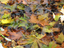 Autumn leaves in the water Royalty Free Stock Images