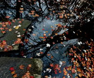 Autumn leaves in water. Autumn leaves in water and reflection of trees in water Stock Photo
