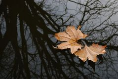 Autumn leaves on water surface Royalty Free Stock Image
