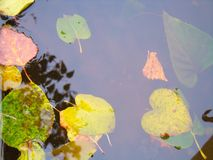 Autumn leaves on the water surface Royalty Free Stock Photography