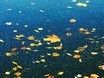 Autumn Leaves On Water. Yellow autumn maple leaves floating on water Royalty Free Stock Photo