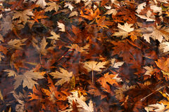 Autumn leaves in the watter Royalty Free Stock Photo