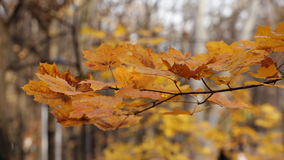 Autumn leaves waving on wind - closeup stock video