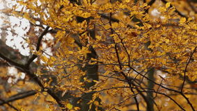 Autumn leaves waving on wind - closeup. HD 1080 static: autumn leaves waving on slow wind with trees and people in background; closeup stock video footage