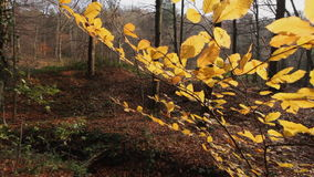 Autumn leaves waving on wind - steadicam closeup. HD 1080 steadicam: autumn leaves waving on slow wind with trees in background; closeup stock footage