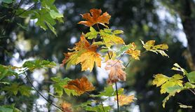 Autumn leaves. Autumn weather brings cooler temperatures and fall colors Stock Image