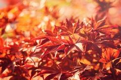 Autumn Leaves Wenige Farben-Ahornblätter von Grünem zum Braun auf schwarzem Hintergrund Lizenzfreies Stockbild
