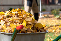 Autumn leaves in a wheelbarrow Royalty Free Stock Photo