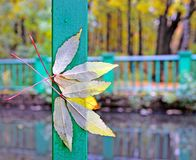 The autumn leaves which have stuck to a wooden handrail. Autumn park. Wooden embankment along the small river. Wind and rain have broken yellow trifoliate royalty free stock photography