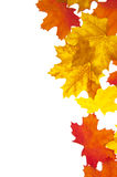 Autumn Leaves on White Stock Images