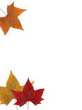 Autumn leaves on white. Three colorful autumn leaves isolated on white background at top and bottom left, Copy space to middle and right Stock Images
