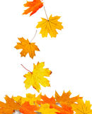 Autumn leaves isolated. On white. Isolation as additional in png format stock photo
