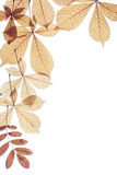 Autumn leaves on a white background. Dry leaves of a chestnut of yellow colour Royalty Free Stock Photography