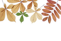 Autumn leaves on a white background. Dry leaves of a chestnut of yellow colour Stock Images
